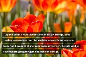 Tulpen komen niet uit Nederland, maar uit Turkije. In de zestiende eeuw brachten Turkse handelaren de tulpen naar Nederland, waar ze al snel zeer populair werden. De tulp vind je tegenwoordig nog terug in het logo van Turkije.